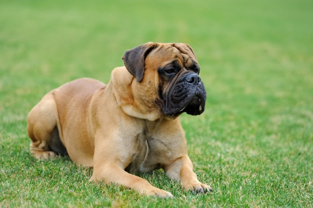 Mastiff in the grass