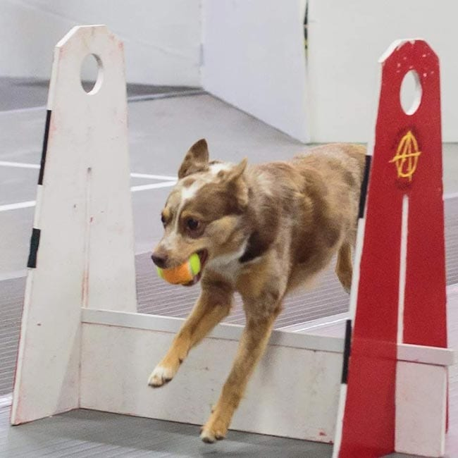 Flyball - Dog Sports