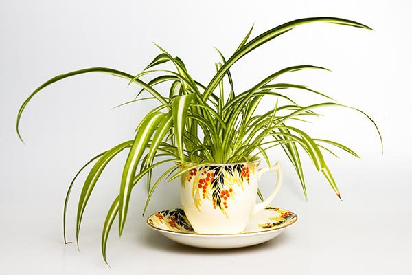 Plants that detoxify the air - Spider plant