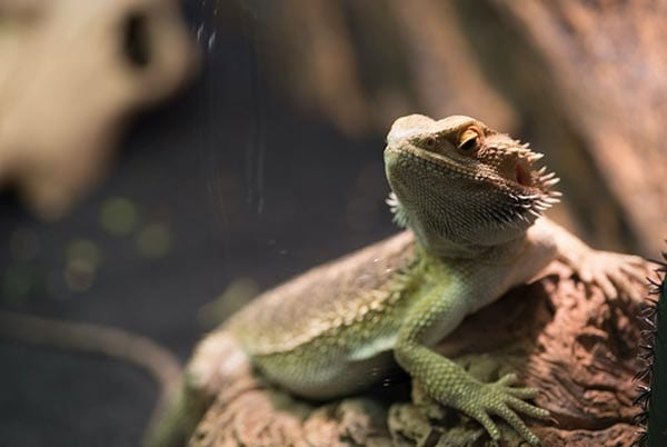 bearded-dragons-small-pets