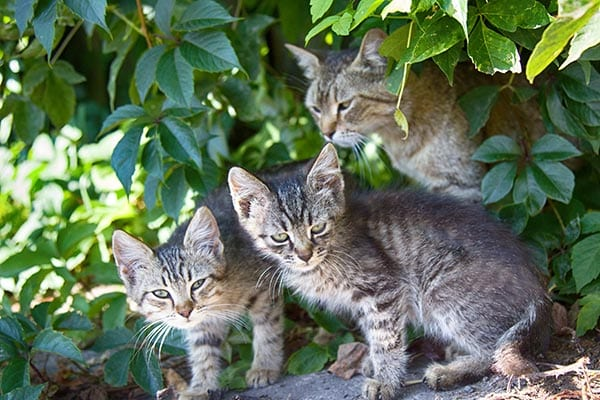 feral cat and kittens
