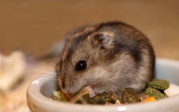 hamsters-small-pets